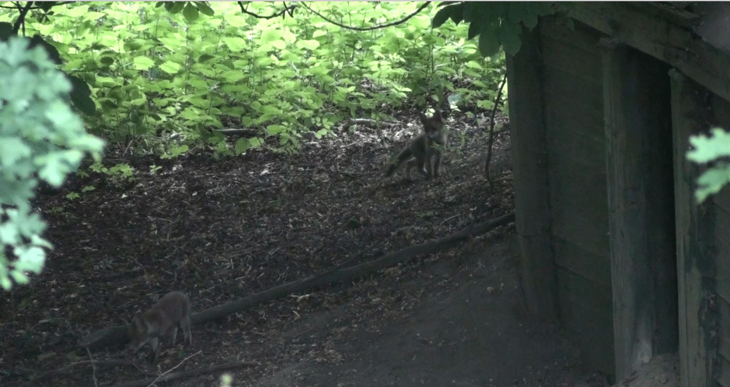 Jonge vossen aan het stoeien
